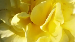 Yellow rose, meant to be a warm welcoming