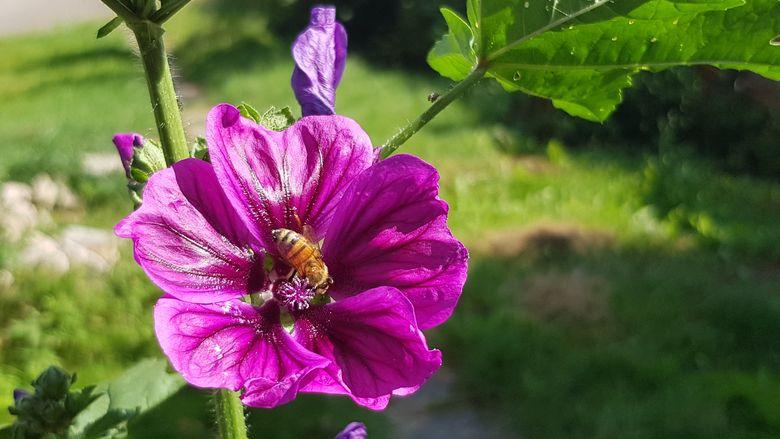 Violette Malvenblüte mit Biene